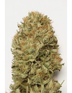 Blue Dream Automatica Granel